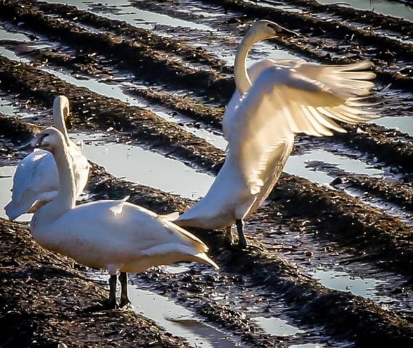 Trumpeter Swan in Mud Bath