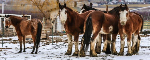 Clydesdale Cluster