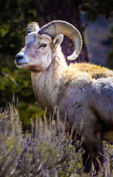 Mountain Sheep in Yellowstone