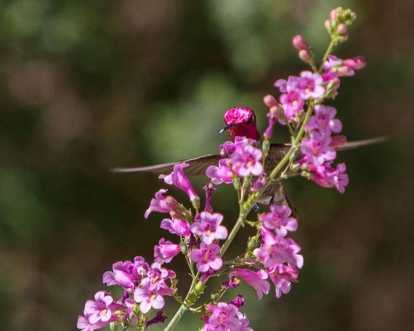 W5A4714 Hummingbird