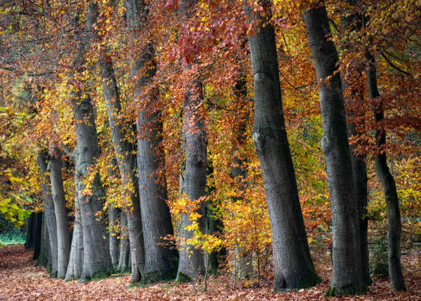Autumn Beeches