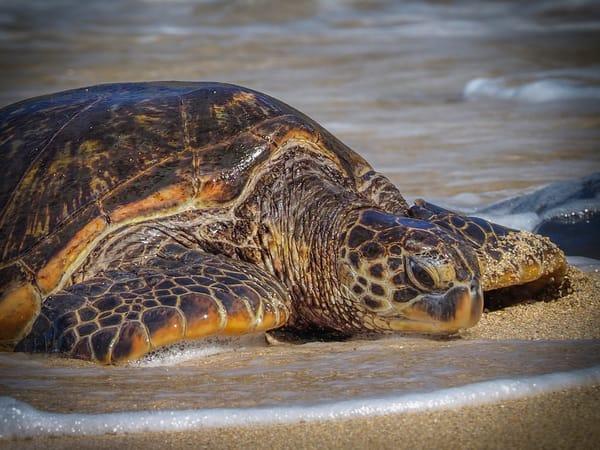 Hawaiian Green Sea Turtle up close art print - photography