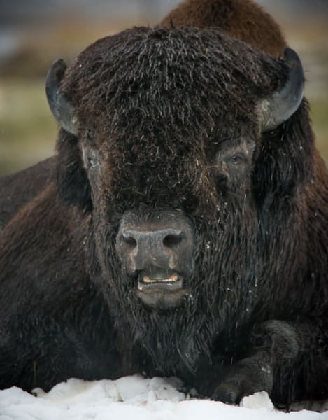Alaskan Buffalo - fine art prints - JP Sullivan Photography