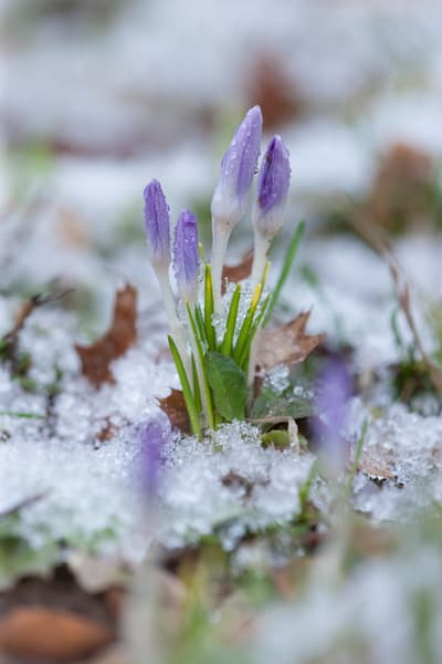 Early spring crocus in snow, image #1 - fine art photograph