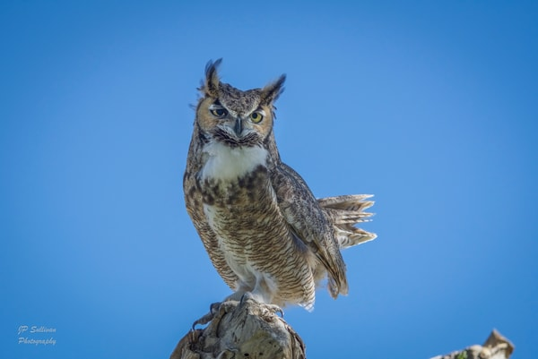 JP Sullivan fine art photography - great horned owl - Bud