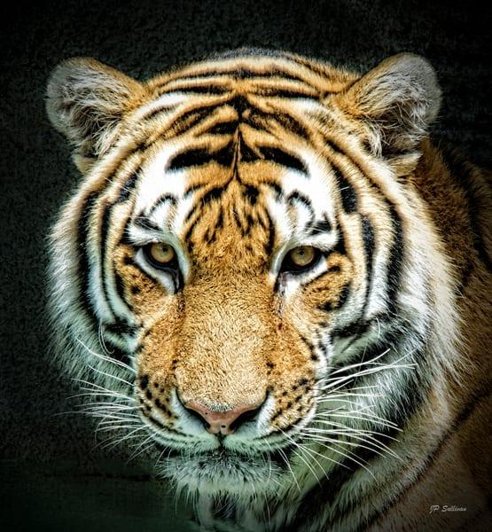 Tiger, bengal tiger portrait