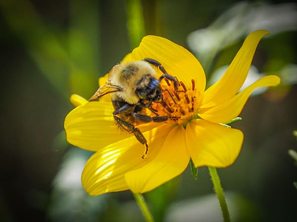 fine art prints - photograph- bee - JP Sullivan Photography