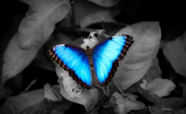 butterfly - colorful butterflies - JP Sullivan Fine art prints - photography