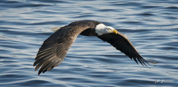 Bald Eagle Glider  - fine art wall prints - JP Sullivan Photography
