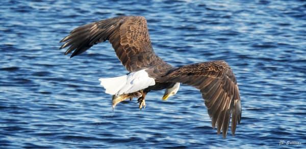 sushi for dinner - fine art photography - bald eagle