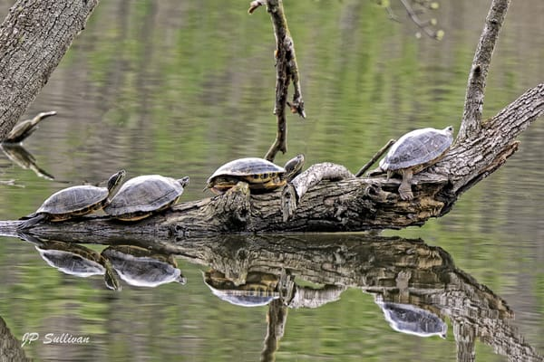 Turtles - follow the leader - lake marmo