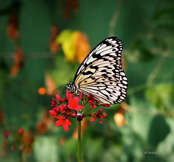 white and black wood-nymph butterfly - art - photograph