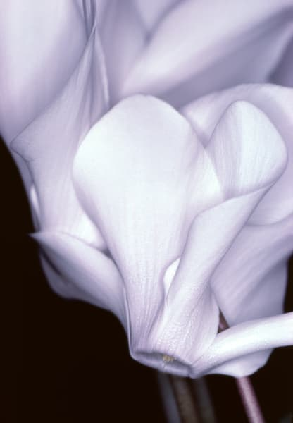 Close up of satin white cyclamen flowers - fine art photograph