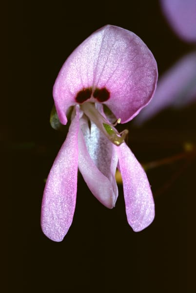 Close up of a graceful Tick Trefoil flower - fine art photograph