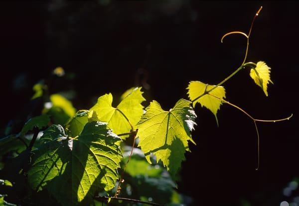Backlit Grape Vine stretching through space - fine art photograph