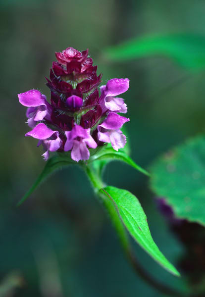 A beautiful cluster of wild heal-all flowers - fine art photograph