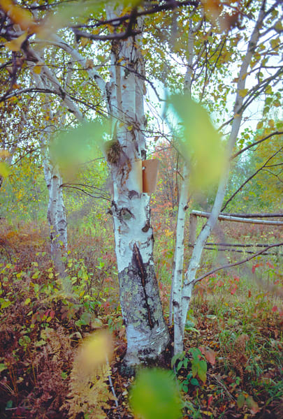 A birch tree in colorful autumn surroundings - fine art photograph