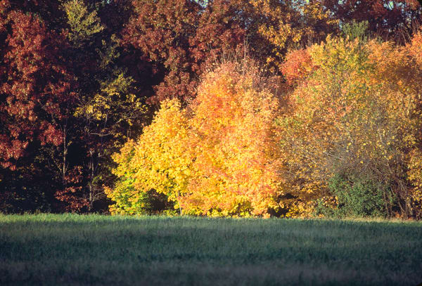 Colorful autumn trees blaze across a hayfield - fine art photograph