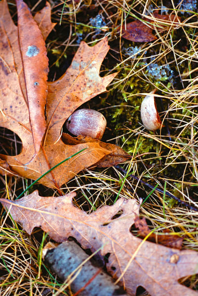 Macro landscape of acorns, oak leaves and moss - fine art photograph