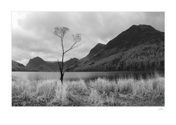 buttermere tree dawnbw