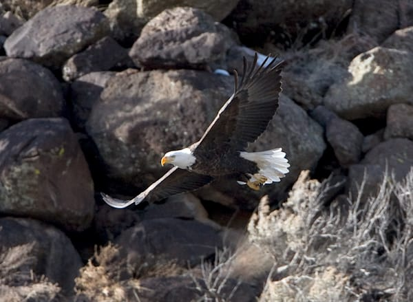 Bald Eagle Art | Fine Art New Mexico