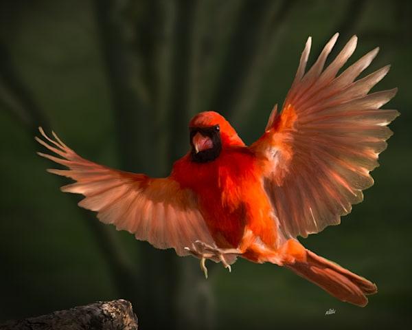 Cardinal In Flight Art | MDM photo