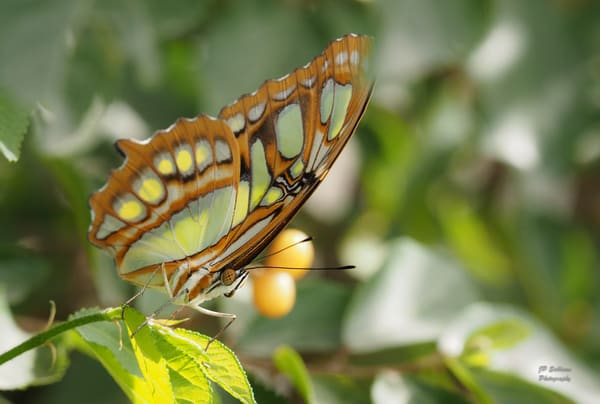a colorful Malachite butterfly - JP Sullivan Photography fine art prints