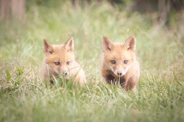 Learning to Hunt Limited Edition Signed Fine Art Wildlife Photography Print by Melissa Fague