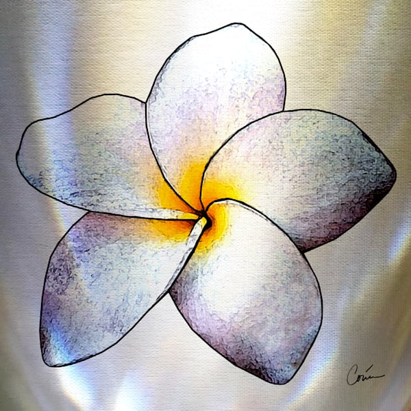 Hawaiian tropical flower, Plumeria on white