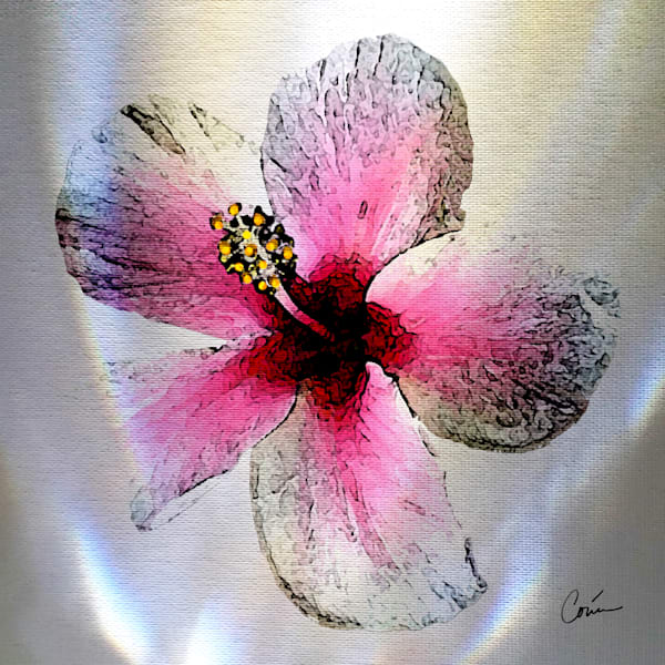 White background with light effects featuring the tropical flower the Pink Hibiscus