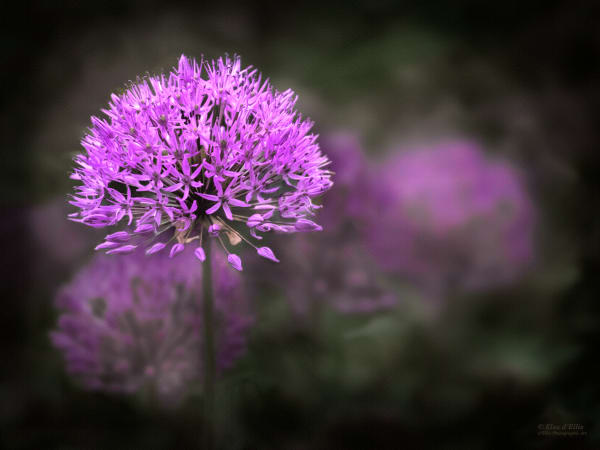 Fine art photographs of flowers| dellisphotographicart.com| Bill & Elsa