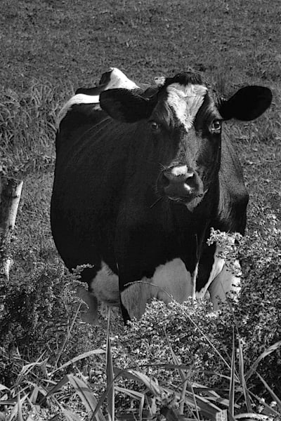 """Cow in Black and White"""