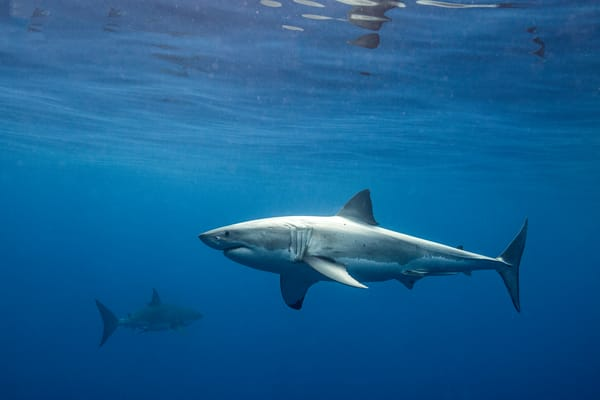 Shark Photography | Tag Team by Leighton Lum