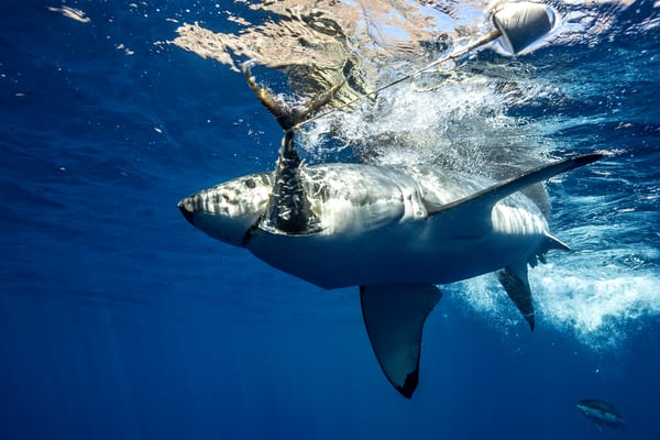 Shark Photography | White Shark Attack by Leighton Lum