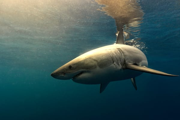 Shark Photography | Mexican Sun by Leighton Lum