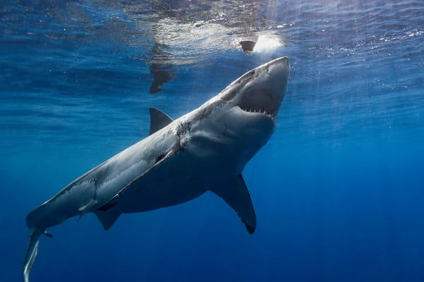 Shark Photography | Lucy Launch by Leighton Lum