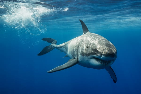 Shark Photography | Lucy by Leighton Lum