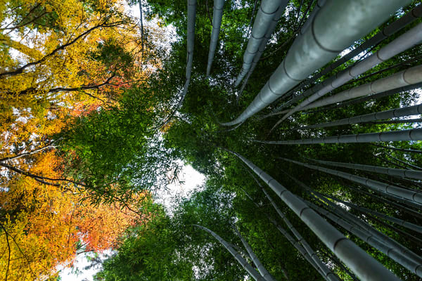 Nature Photography | Fall in Arashiyama by Leighton Lum