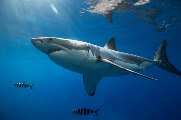 Shark Photography | Down Under by Leighton Lum