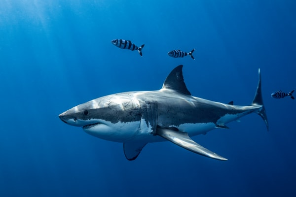 Shark Photography | Escorts by Leighton Lum