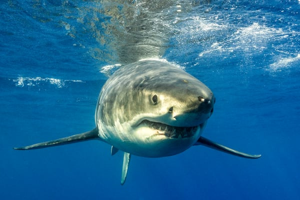 Shark Photography | Close Up with a White Shark by Leighton Lum