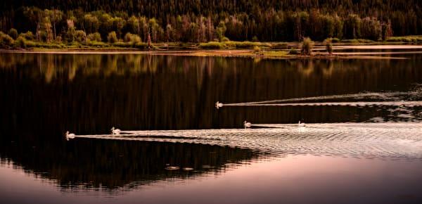 Photo of White Pelicans, d'Ellis Photographic Art photographs, Elsa