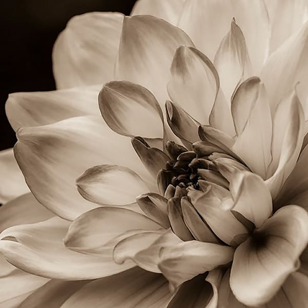 Sepia Fine Art Photograph of Mikayla Miranda Dahlia Square For Sale