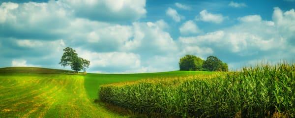 Summer Corn Field, Lodi, Wisconsin, USA