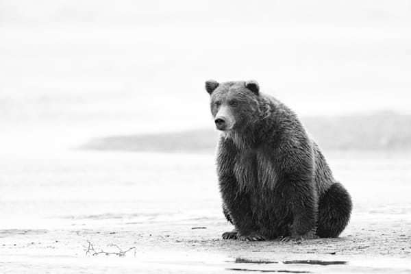 Brown bear watching patiently for salmon.