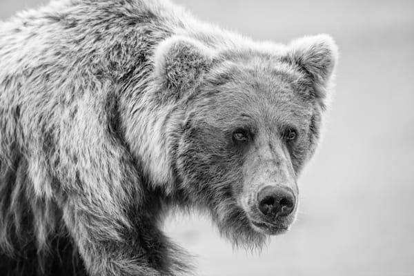 Grizzly bear in Alaska