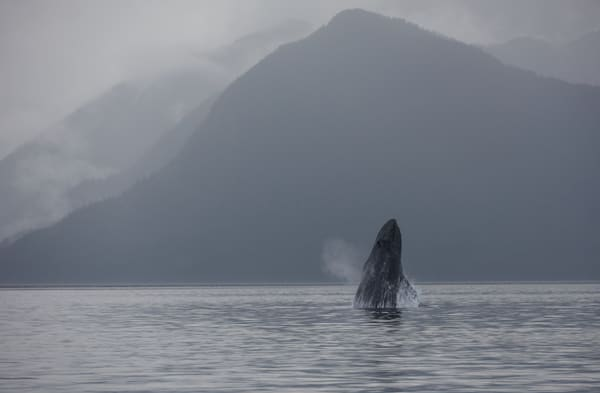 Breaching humpback whale near Hartley Bay, BC, Canada