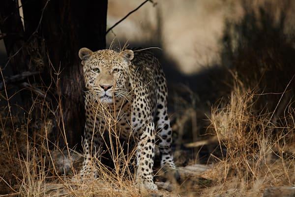 Cautious leopard watches photographer.