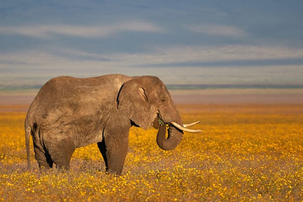Elephant in a field of yellow flowers