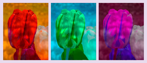 Photo of TulipTriptych, d'Ellis Photographic Art photographs, Bill